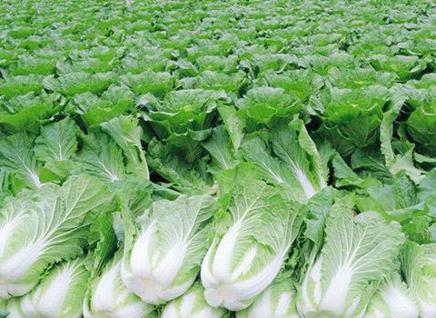 Nutrition Fertilization Programme for Cabbage