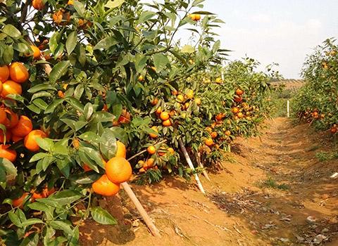 Nutrition Fertilization Programme for Citrus